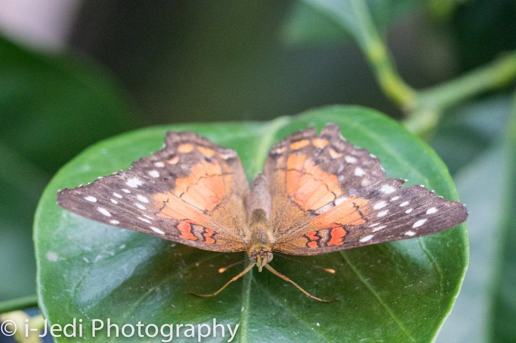 Tropische-Schmetterlinge-Augsburg-05578.jpg