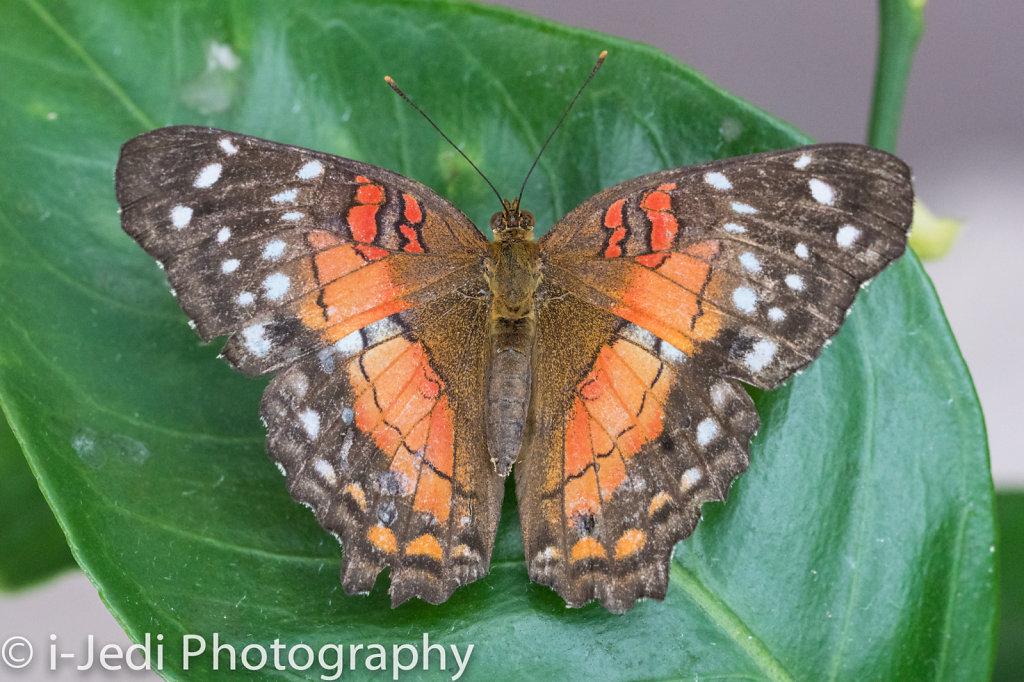 Tropische-Schmetterlinge-Augsburg-05581.jpg