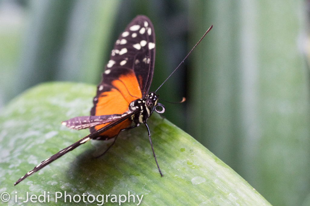 Tropische-Schmetterlinge-Augsburg-05585.jpg