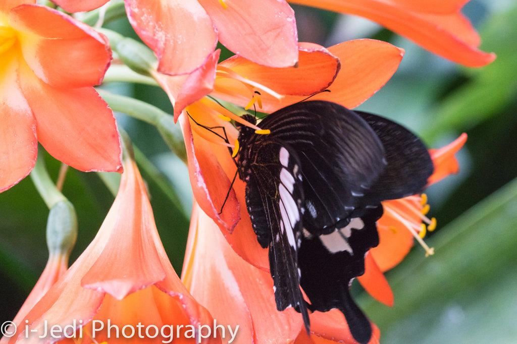 Tropische-Schmetterlinge-Augsburg-05587.jpg