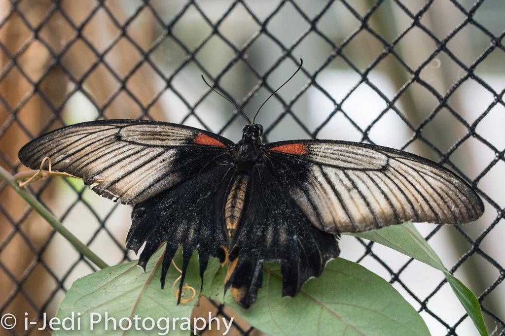 Tropische-Schmetterlinge-Augsburg-05592.jpg