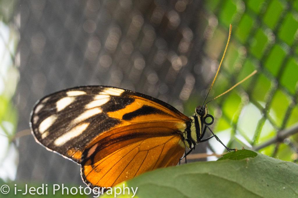 Tropische-Schmetterlinge-Augsburg-05594.jpg
