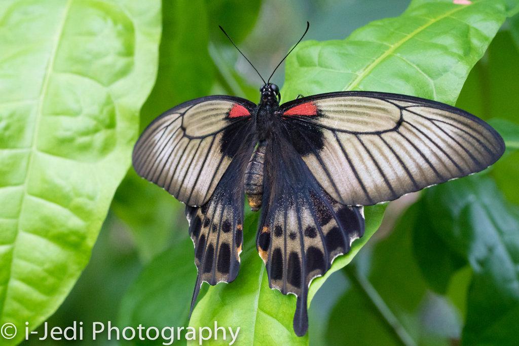 Tropische-Schmetterlinge-Augsburg-05601.jpg