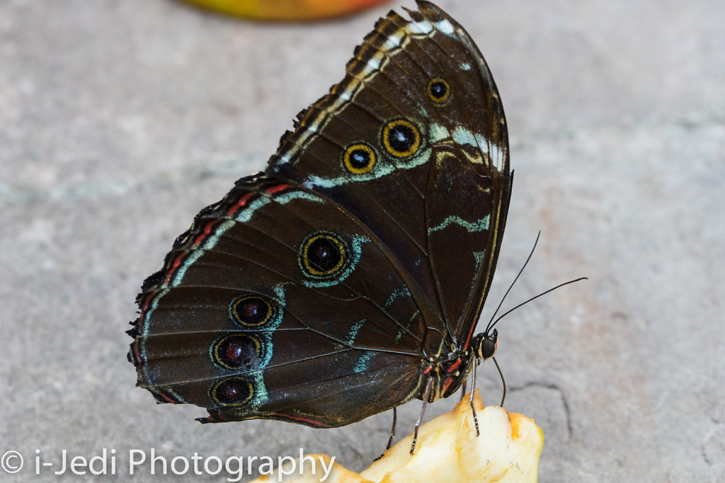 Tropische-Schmetterlinge-Augsburg-05615.jpg